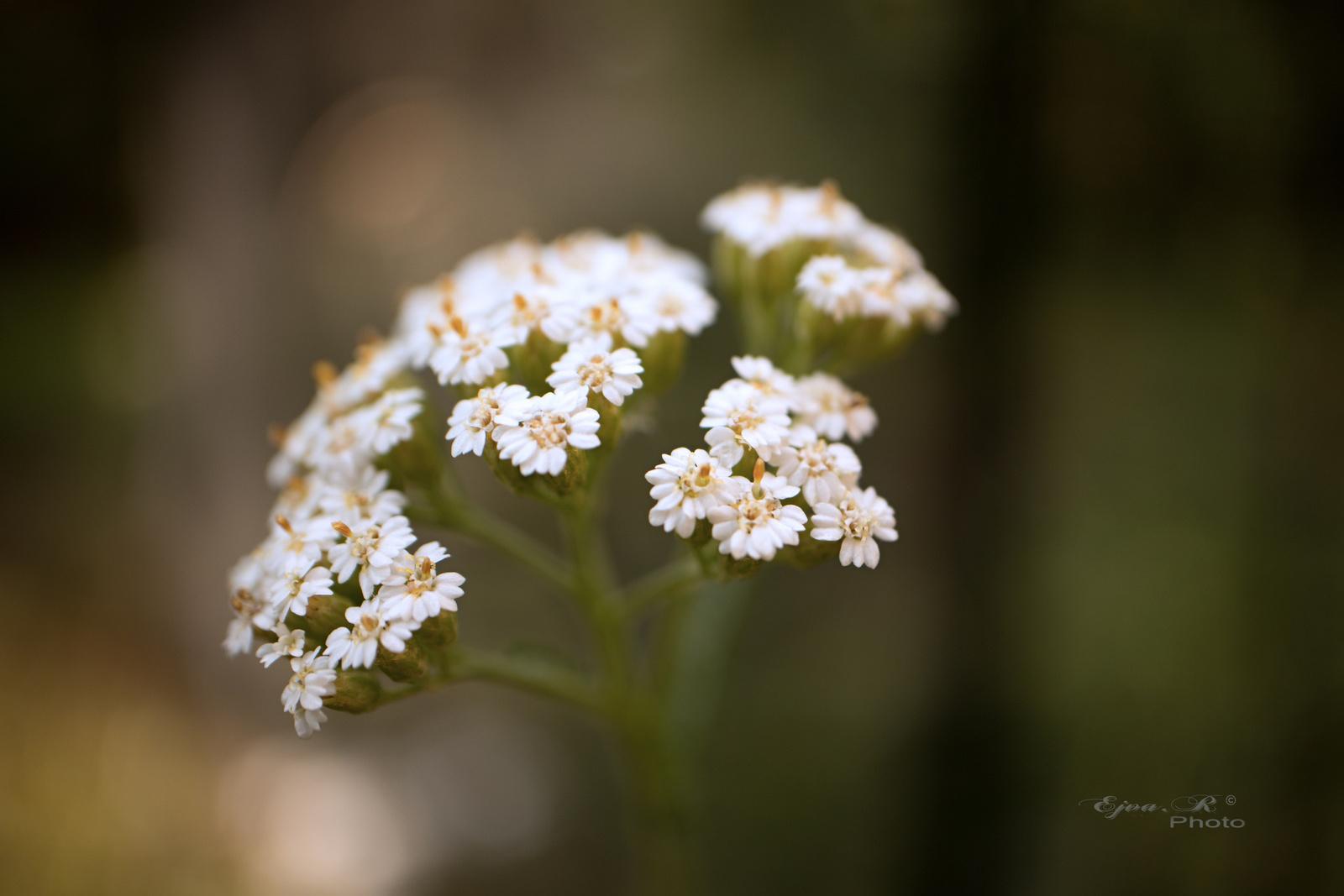 virág fehér