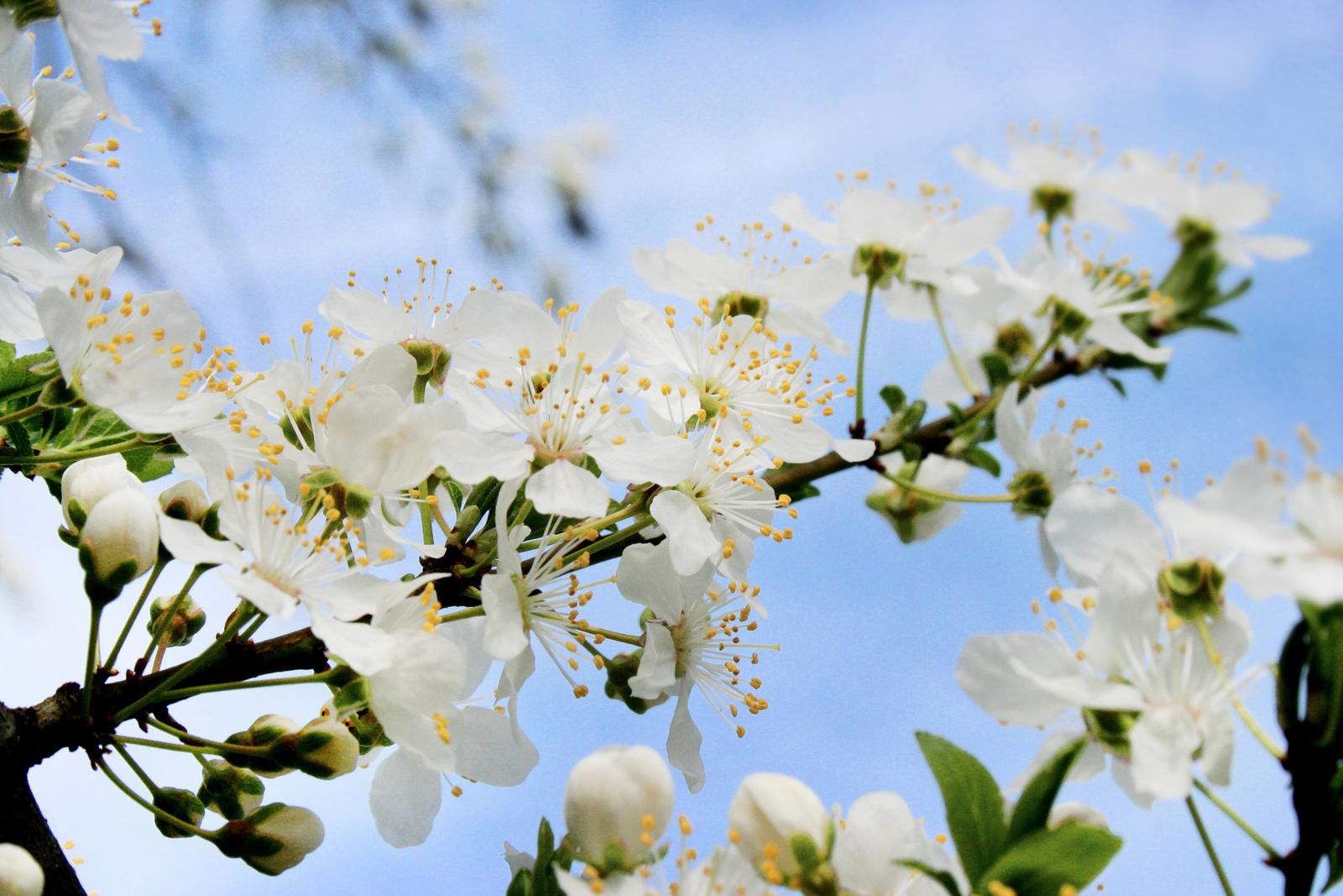 Virágzó meggyfaág
