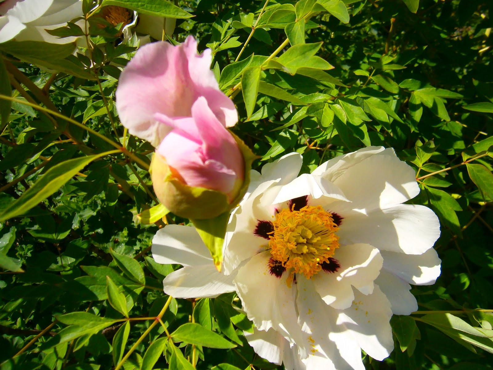 park rózsa és a bimbó