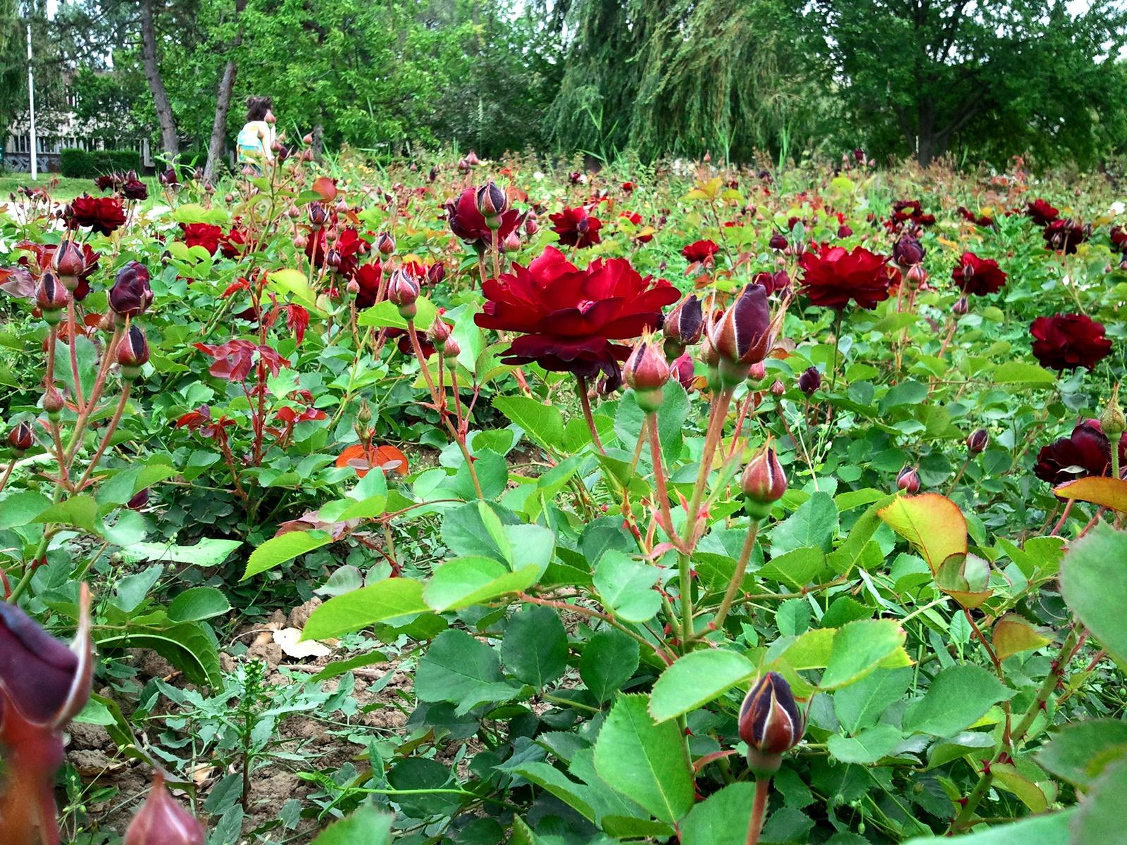 Rózsaliget