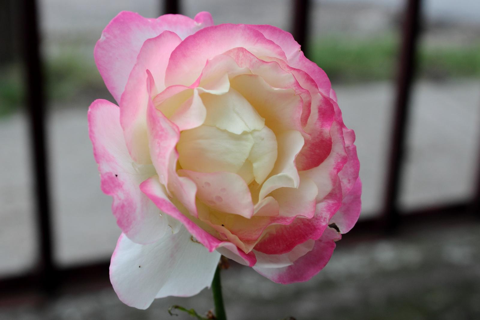 Rózsaszín szegélyű szirmok