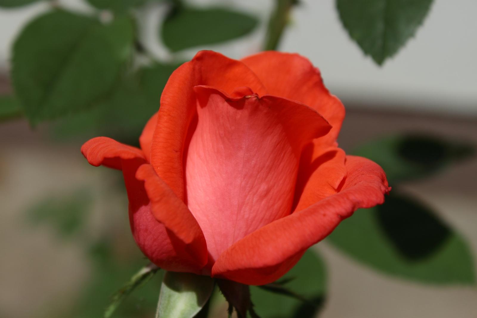 Rózsa (még egy)