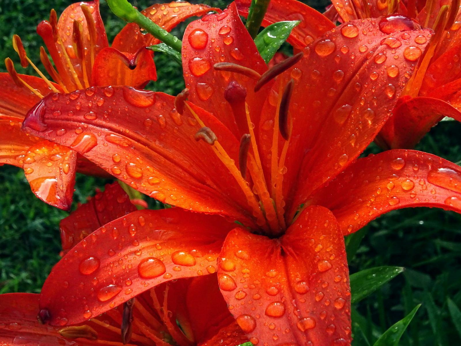 Cseppes liliom