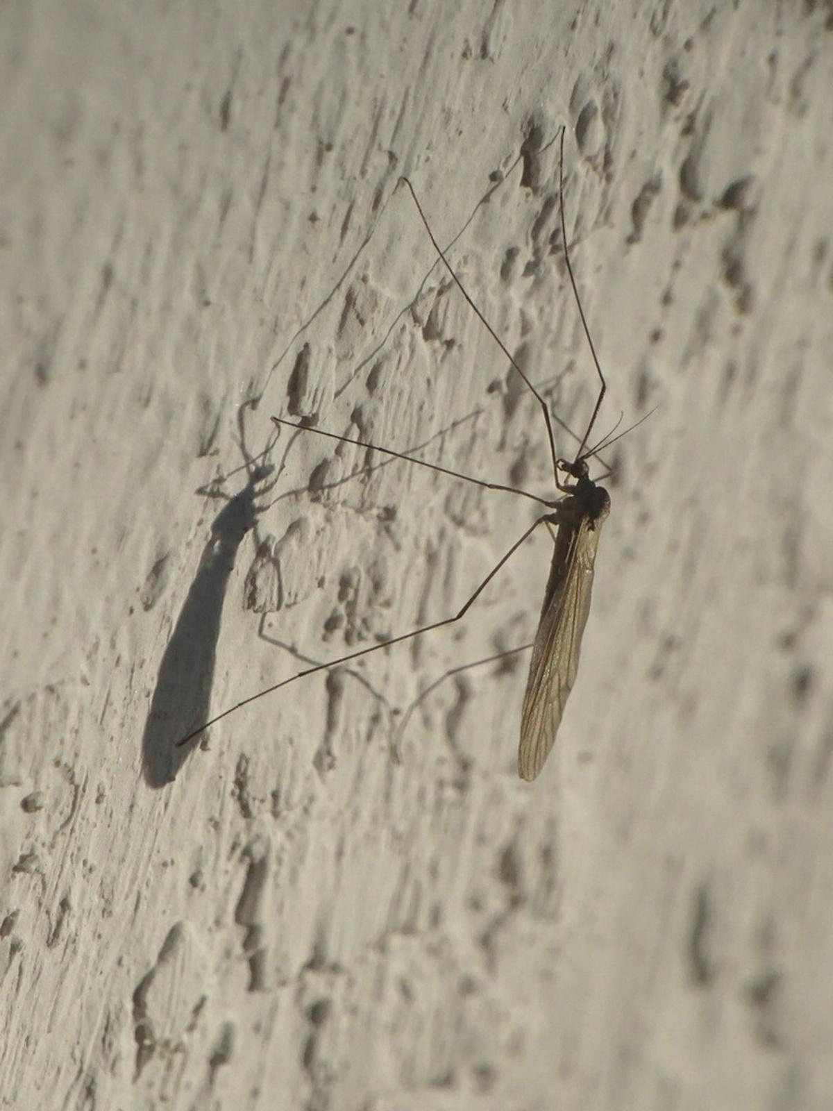 Őszi szúnyog