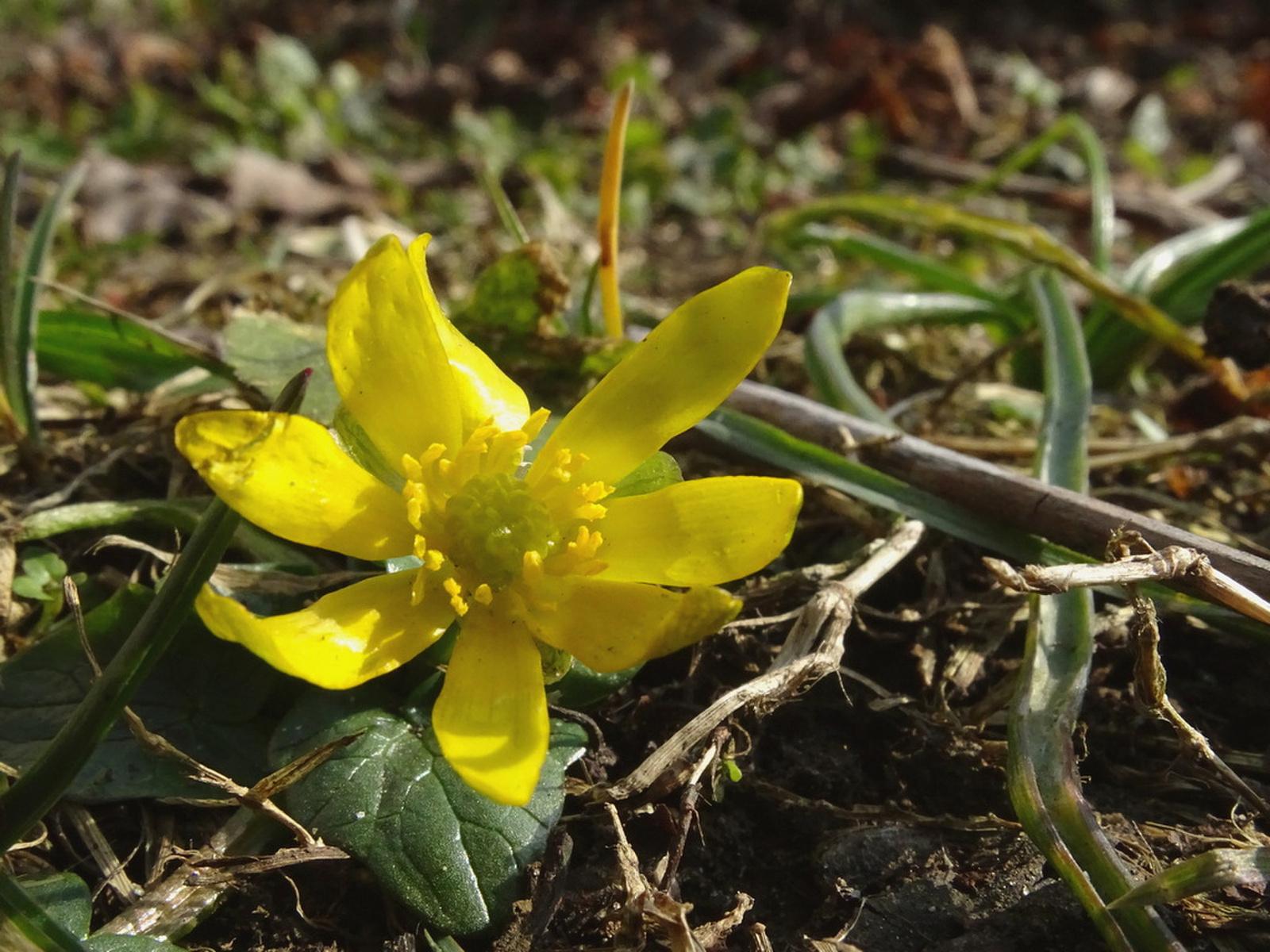 Tavaszvirág