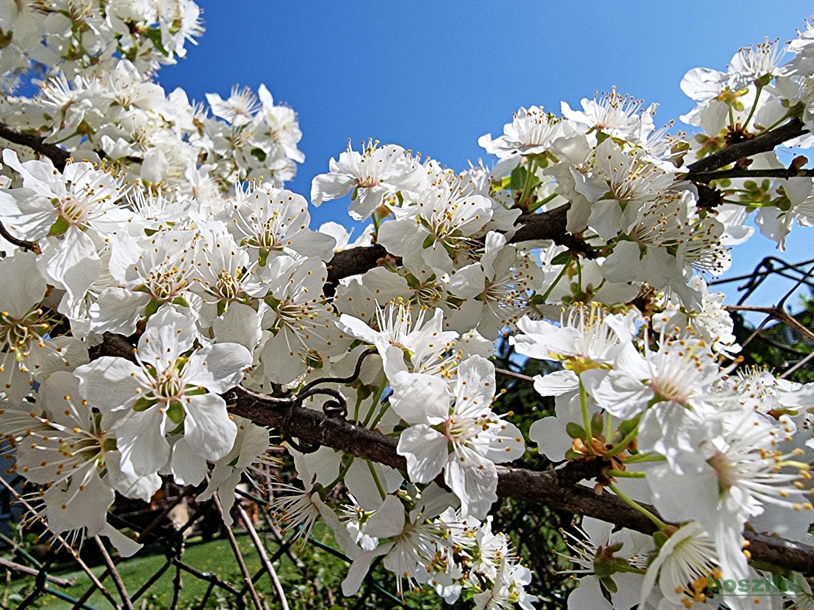 Virágszirmok 5