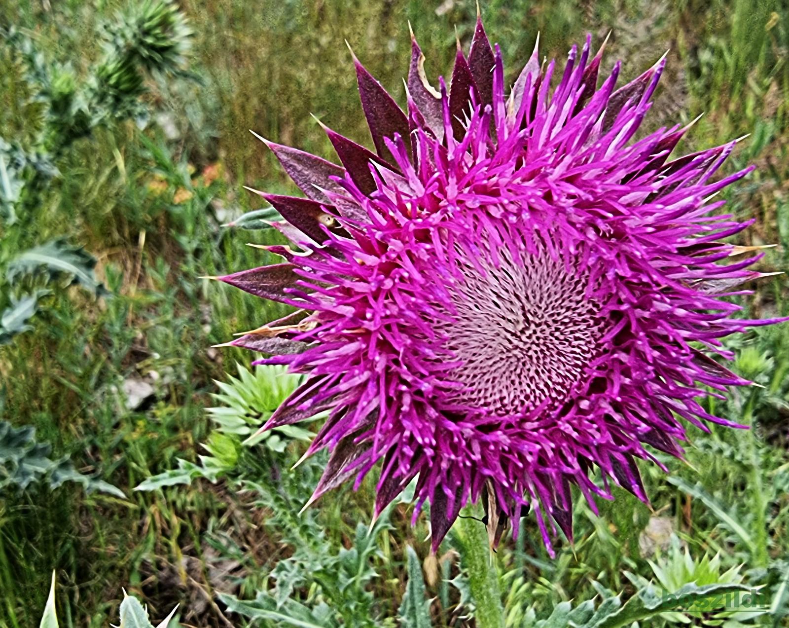 Virág 4