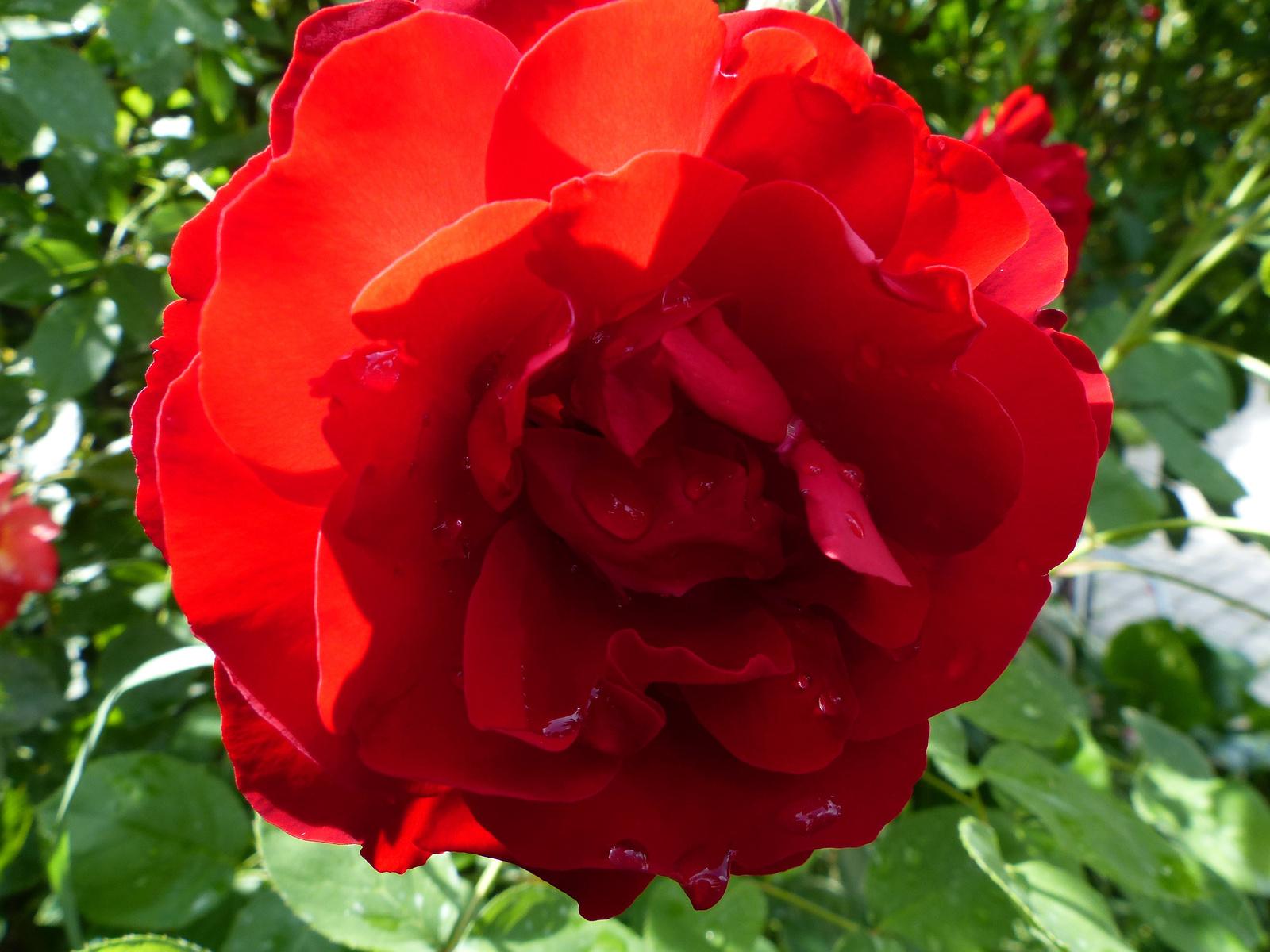 Rózsák az otthoni kertünkben, SzG3