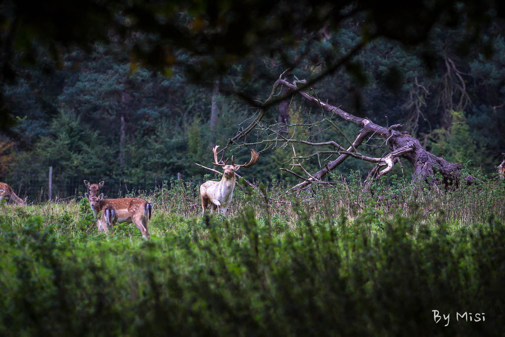 Charlecote deer-25