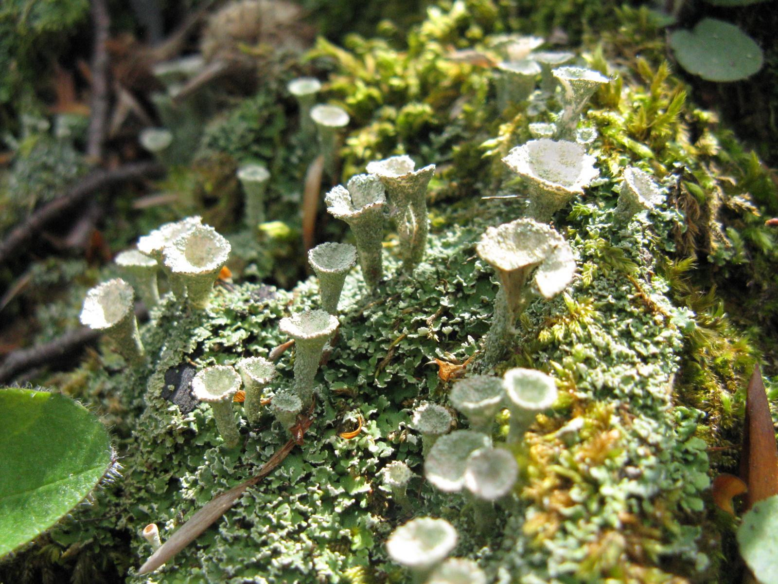 Tölcsérzuzmó Cladonia fimbriata
