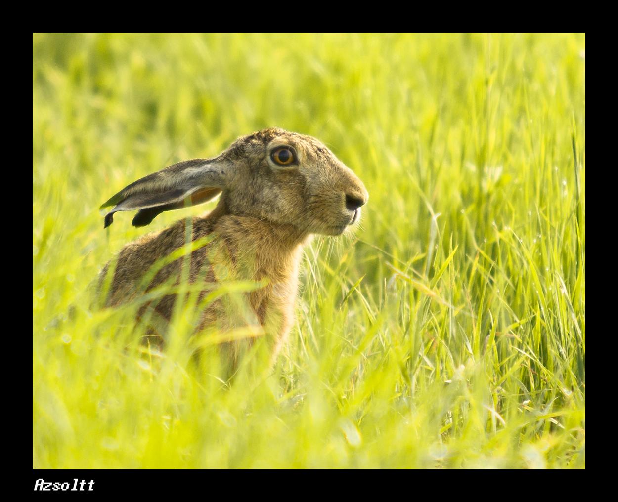 Nyúl fűben