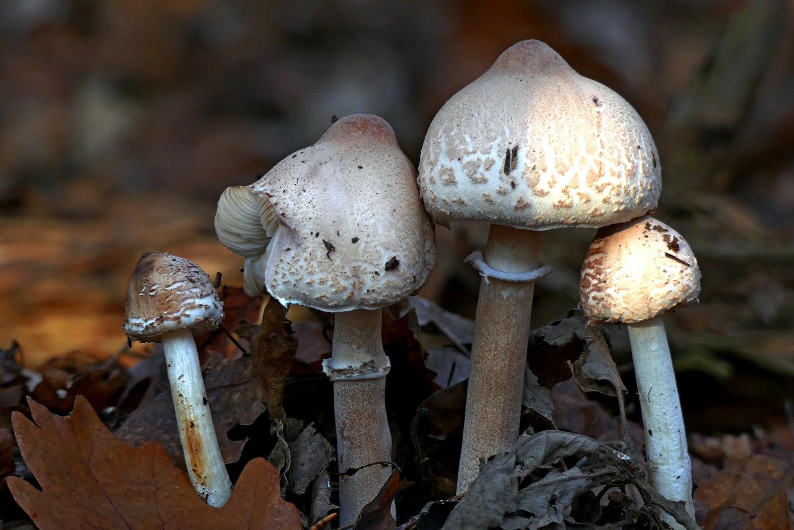 04 Őzláb gombák