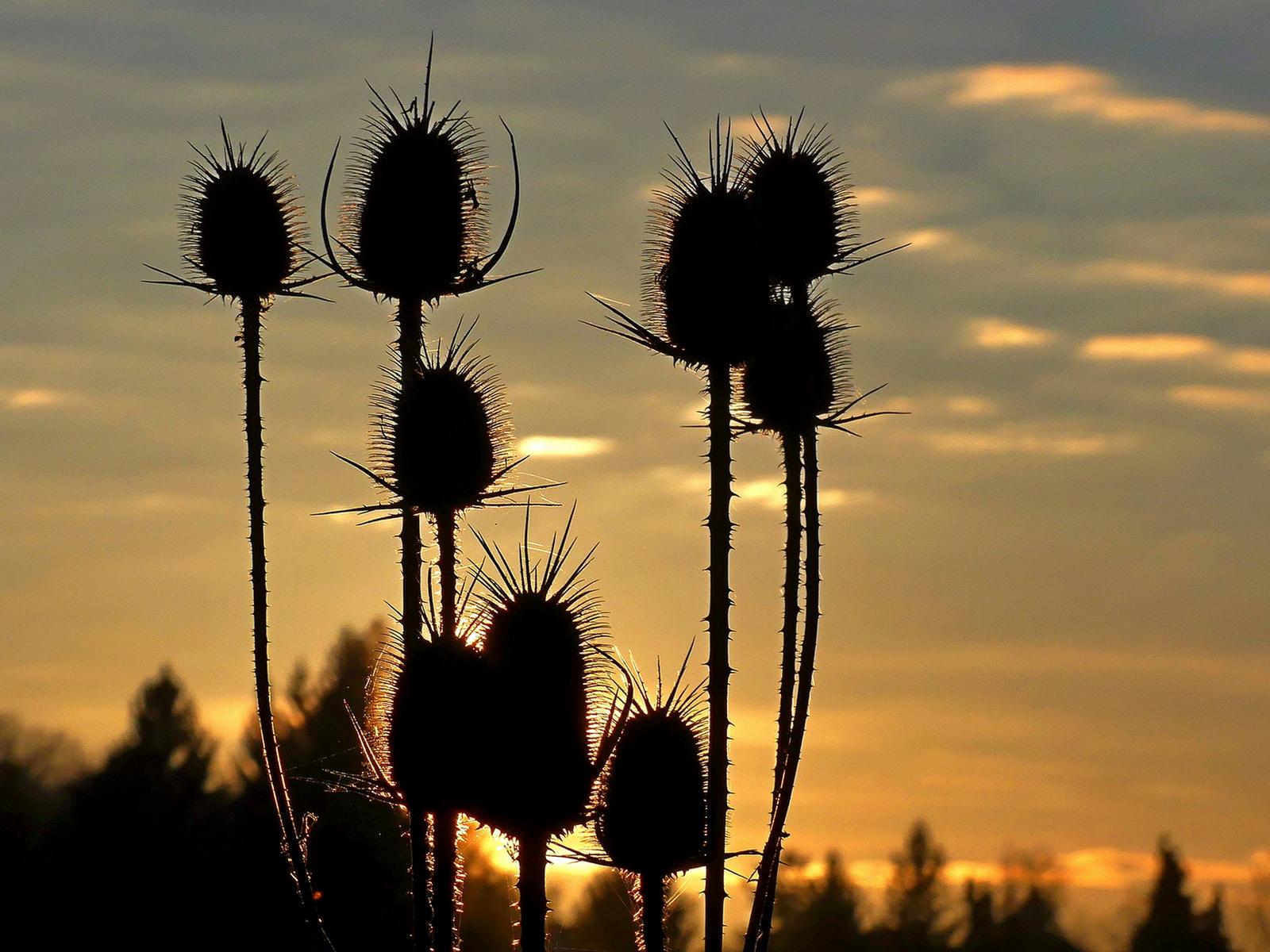 05 Mácsonyák a naplementében