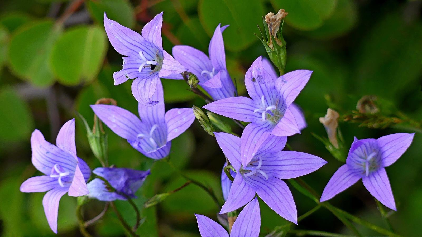02 Kisvirágú harangvirág