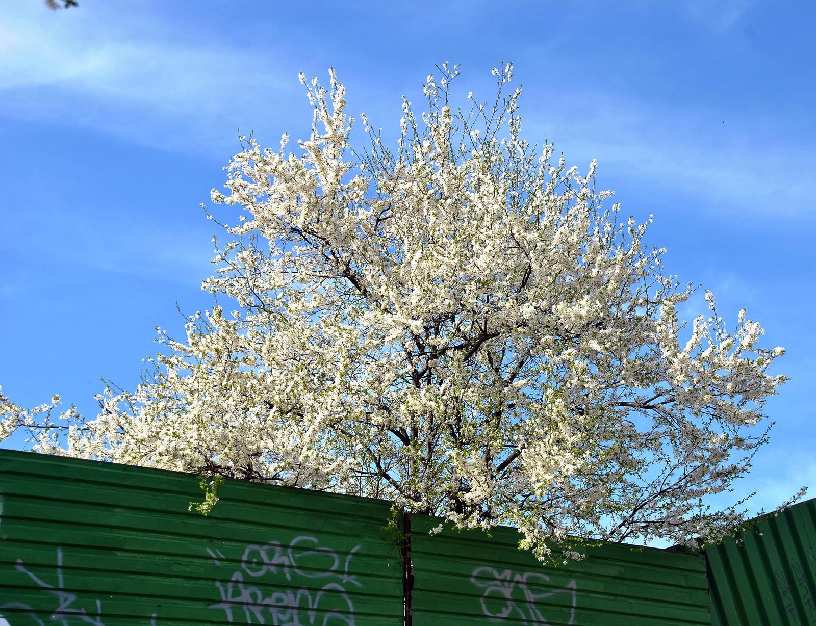 Tavasz a kerítés mögött