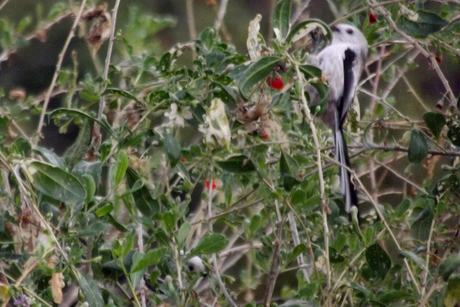 Esti madárka (Őszapó)