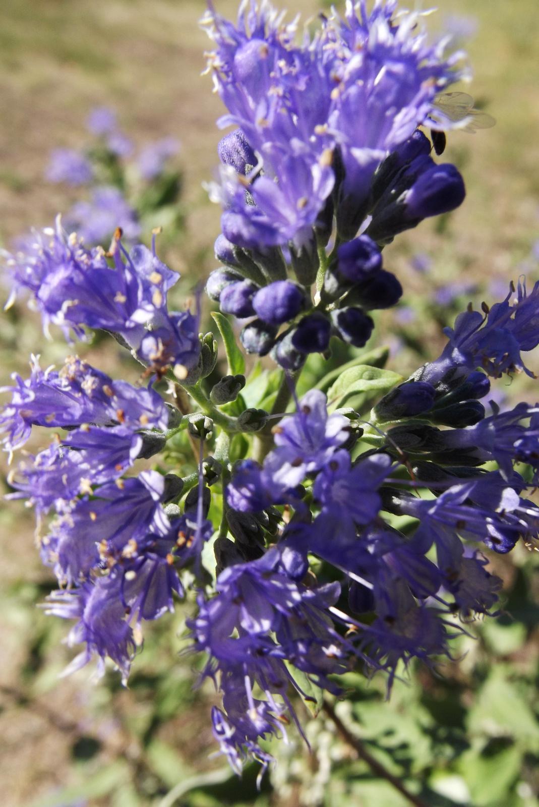 A bokor virágzata