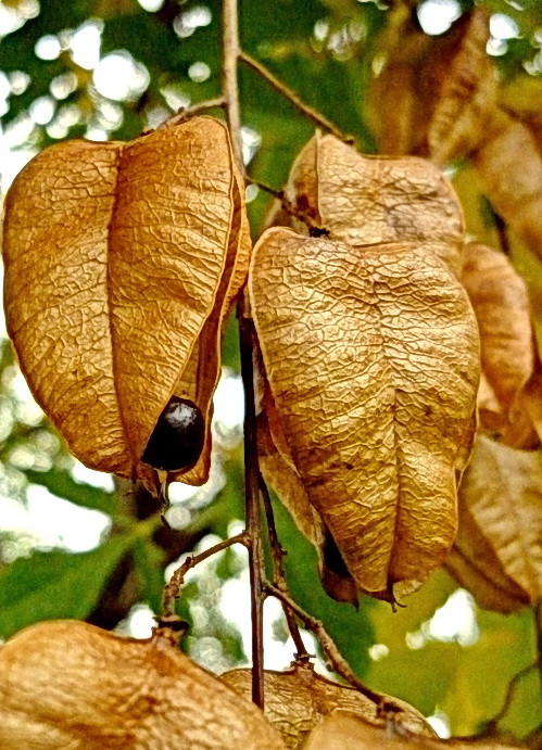 Bugás csörgőfa termése