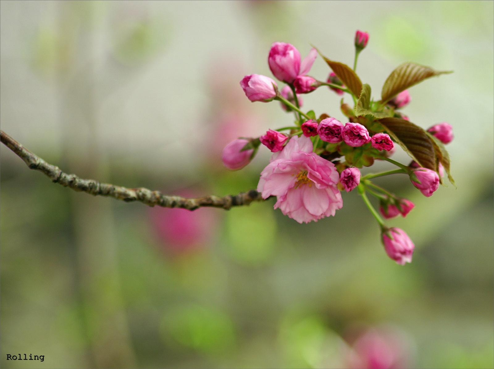 Rózsaszínű tavasz.